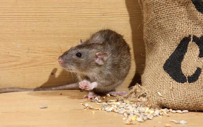 Rodent-Borne Disease