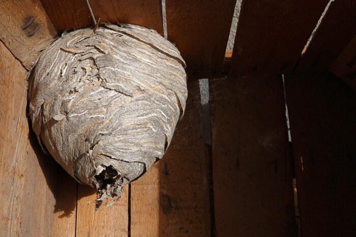 How to Identify a Wasps Nest