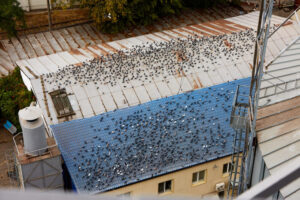 Bird Problems In Roof